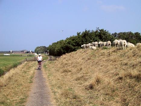 Sheep sharing the bike route<br>Netherlands, Cathy, Bicycles, Scenery ; 2000